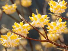 三椏(ミツマタ)の花